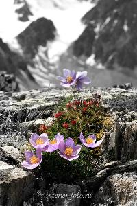 Цветы Актру. Алтай (3024)