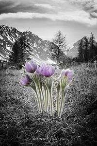 Цветы ущелья Актру (3026)