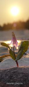 Цветы Катуни. Алтай (7013)
