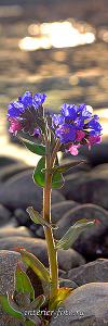 Вертикальное фото Цветы Катуни