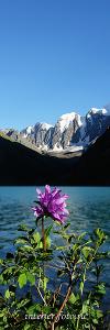 Цветы Шавлинского озера. Алтай (7027)