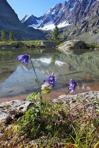 Цветы озера Куйгук - Катунский хребет