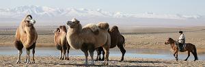 Верблюды Чуйской степи. Алтай (6121)