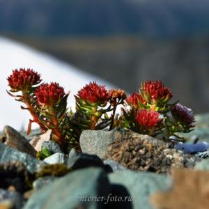 Цветы высокогорий - Каратюрек