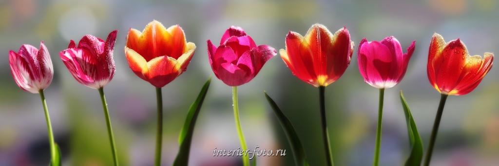 Цветы - тюльпаны