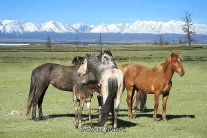 Лошади в Курае