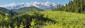 Цветущие склоны Айгулакского хребта. Алтай (6397)