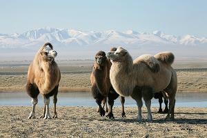 Верблюды Чуйской степи