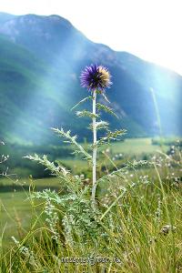 Цветок в долине Чуи