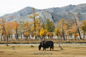 Як в районе Цэнгэла - Монголия