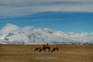 Верблюды Монгольского Алтая