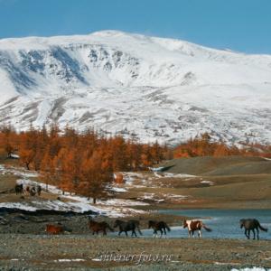 Лошади в Монгольском Алтае