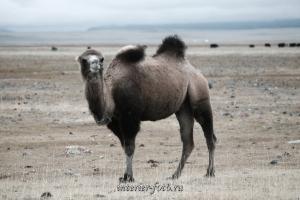 Корабль пустыни - Монголия