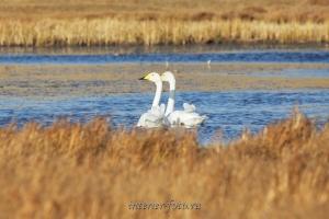 Лебеди озера Хурган в Монголии