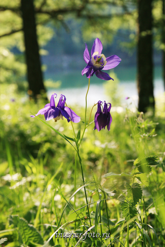 Цветы озера Ару-Кем