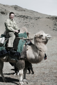 Верблюды Монголии