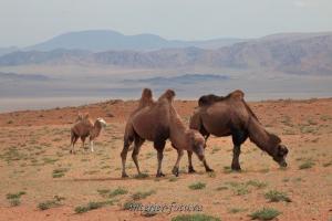 Верблюды в Монголии