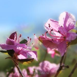 Цветы Алтая - маральник
