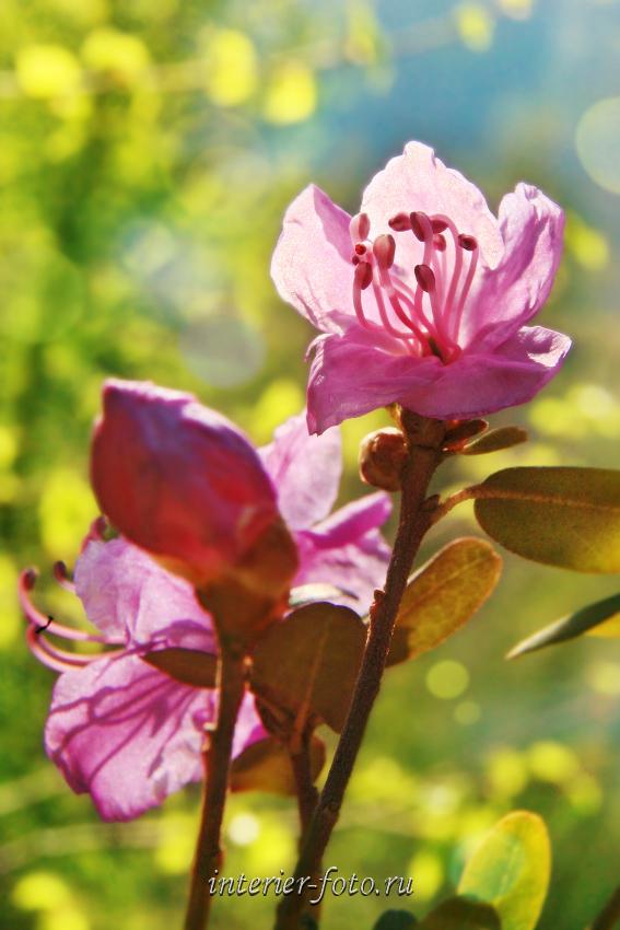 На Алтае цветет маральник