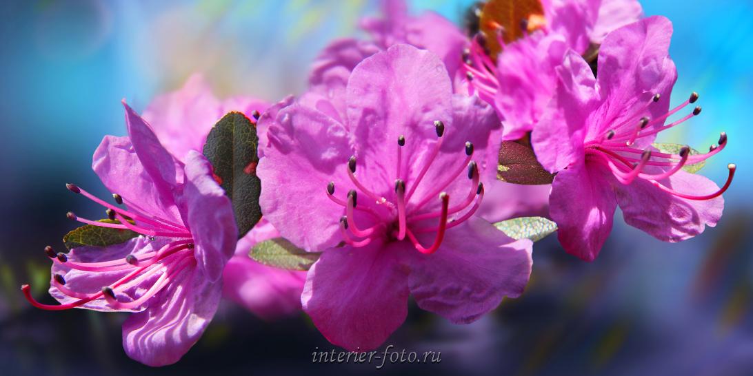 Панорама Цветущий маральник
