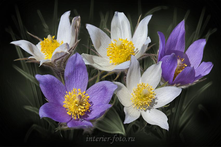 Алтайские первоцветы