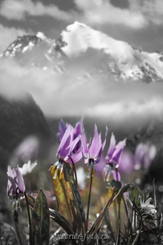 Фото черно-белое с цветом Цветы Чуи
