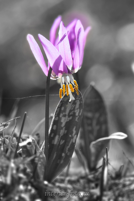 Черно-белая фотография с выделением цвета