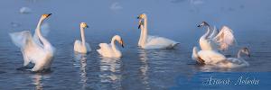 Алтай. Лебеди (6425)
