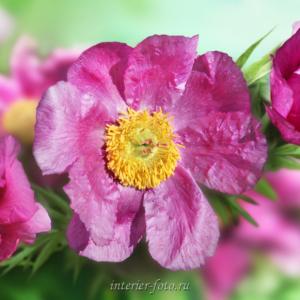 Цветы Алтая Марьин корень