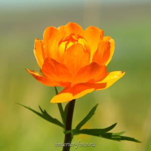 Цветы Алтая Огоньки
