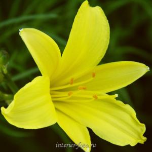 Цветы Алтая Лилия