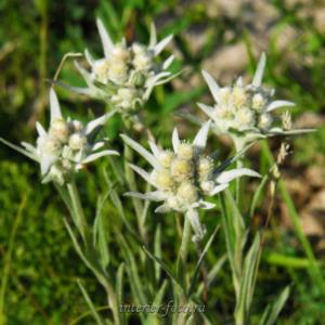 Цветы Алтая Эдельвейс