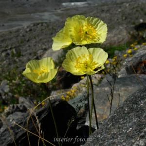 Цветы Алтая Маки