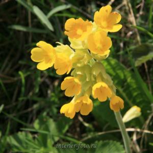 Цветы Алтая Примула