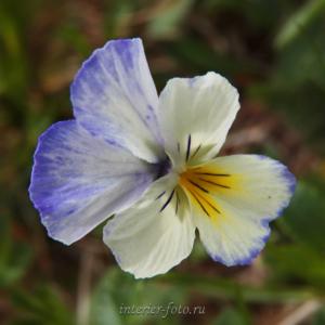 Цветы Алтая Фиалки