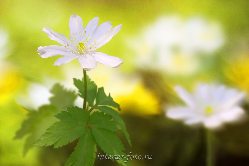 Цветы Алтая Ветреница