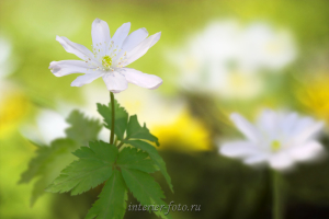 Фото цветов Ветреница