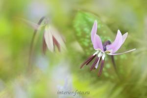Фото цветов Цветение кандыка