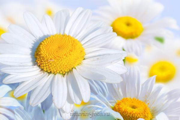 Фото цветов Ромашки