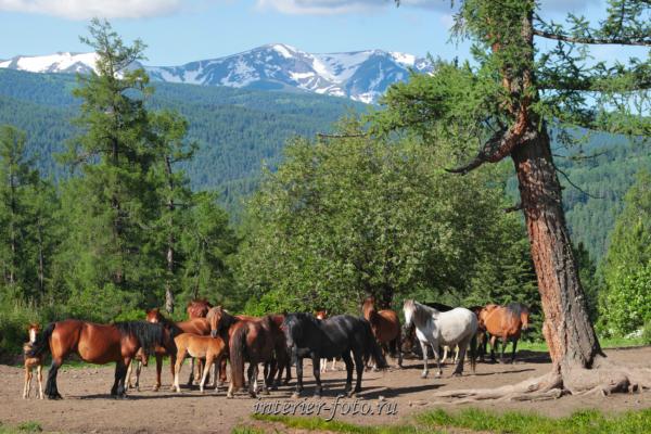 Лошади на Алтае