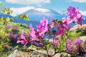 Цветущий маральник
