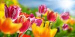 Весенние тюльпаны