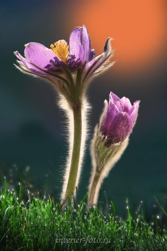 Подснежники Сон-трава
