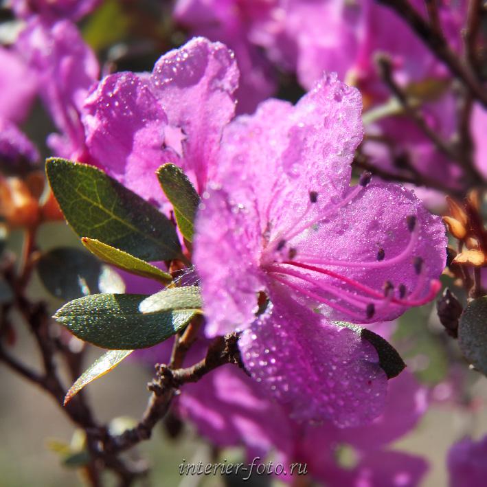 Цветет маральник