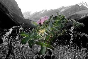 Черно-белые цветы Маашея. Алтай (3004)
