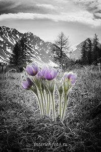Цветы ущелья сон-трава