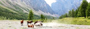 Вольные лошади долины Ак-Туру. Алтай (6084)