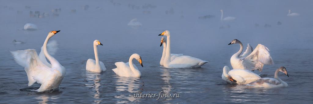 Лебеди Алтая