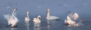 Лебеди озера Светлого. Алтай (6425)
