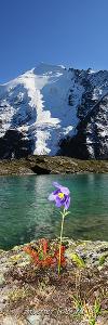 Одинокий цветок Долины семи озер. Алтай (7045)